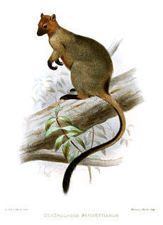 gen-13 230px-Bennetts Tree-kangaroo FILEminimizer
